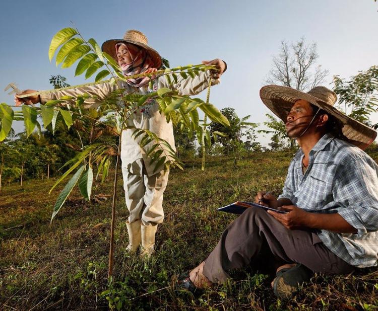 plantatio  Thailande818